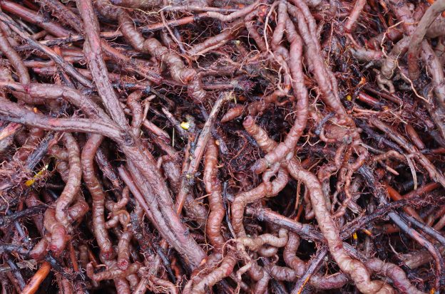madder root, a traditional source for red color dye for thousands of years